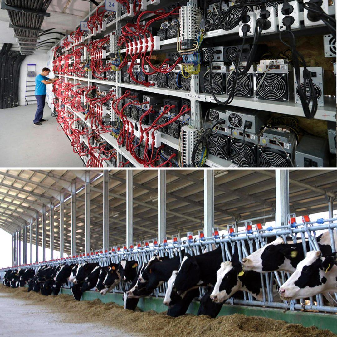 Фермы - майнинговая и для крупного рогатого скота